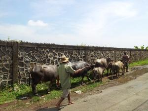 kerbau dan petani